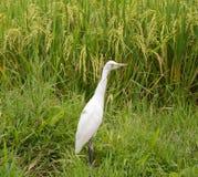 White heron on rice field Royalty Free Stock Photos