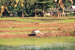 White Heron Rice Plantation Royalty Free Stock Image
