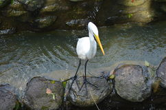 White Heron on the river Royalty Free Stock Images