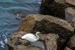 White heron on rock. Lonely white heron on a rock near the blue sea Royalty Free Stock Photo