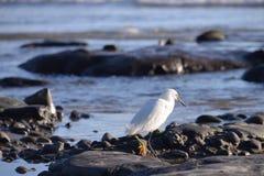 White Heron at Beach on Rocks Royalty Free Stock Photography