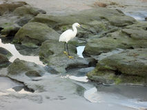White Heron on Rocks Stock Photography