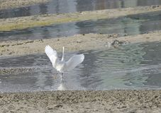White heron running after fish Stock Image