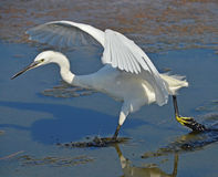 White heron running on marsh surface Royalty Free Stock Image