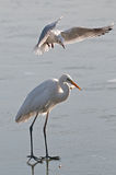 White heron and seagull on the frozen lake Royalty Free Stock Images
