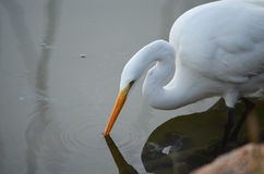 White Heron Searching for Dinner. In Palacios, Texas stock photo