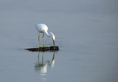 A White heron searching food in water Royalty Free Stock Photography