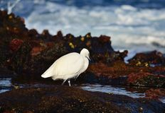 White heron Royalty Free Stock Image
