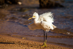 White heron. At the seashore Stock Photo