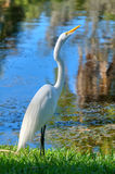 white heron Stock Photos