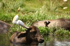 White Heron sitting on Cattle back Stock Images