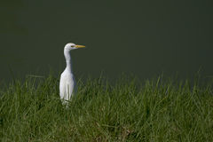 White heron sitting in grass (ardea alba) Royalty Free Stock Images