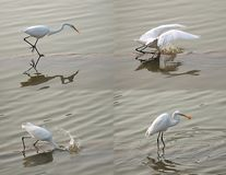 White Heron Snatches a Fish Royalty Free Stock Images