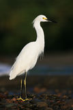 White heron Snowy Egret, Egretta thula, standing on pebble beach in Dominical, Costa Rica Stock Photo