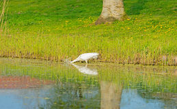 White heron spears a fish in a river Stock Photography