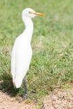 White heron in Sri Lanka Stock Photo