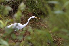 White Heron Stalking. White Heron against marsh grasses with blurred leaves in the foreground Royalty Free Stock Photography