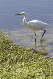 White Heron. Standing at the edge of the pond Stock Photography