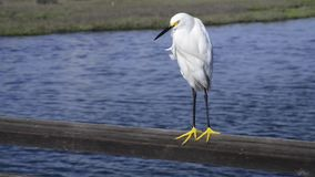 White heron stock footage