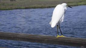 White heron stock footage