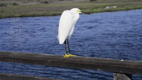 White heron stock video