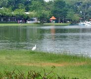 White Heron standing on green lawn on wide lake side in the public park Royalty Free Stock Photo