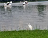 White Heron standing on green lawn on wide lake side in the public park Royalty Free Stock Image
