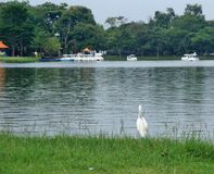 White Heron standing on green lawn on wide lake side in the public park Stock Photos