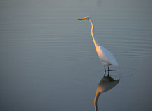 White Heron Standing in the Light. In Palacios, Texas royalty free stock photo
