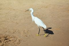 White heron on the stone on a sea shore royalty free stock images