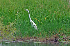 White Heron strolling. Small White Heron strolls in Everglades grasses royalty free stock photos