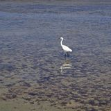 The white heron strolls along the stone plateau of the sea coast royalty free stock images