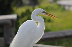 White Heron sun. Everglades large White Heron also called Great White Egret stock images