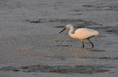 White heron at sunset Royalty Free Stock Photos