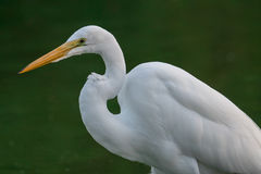 White heron in swamp royalty free stock photography