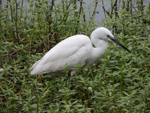 White Heron in a swamp. Sri Lanka Royalty Free Stock Photo