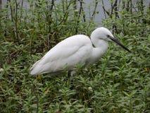 White Heron in a swamp. Sri Lanka royalty free stock photo