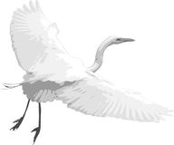 White Heron Taking Flight. A  image of a white heron taking flight on a simple, isolated white background Royalty Free Stock Image