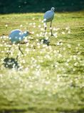 White heron thinking about something. White heron take a water bath on a field Stock Image