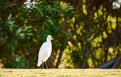 White heron thinking about something. White heron take a water bath on a field Royalty Free Stock Image