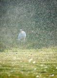 White heron thinking about something. White heron take a water bath on a field Royalty Free Stock Photos