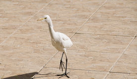 White heron in the tiles Stock Photo
