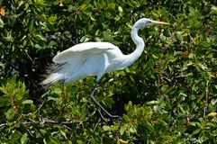 White heron on a tree. Royalty Free Stock Photo