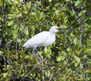 White heron on a tree Stock Photography