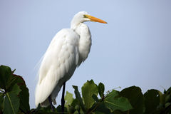 White Heron on a tree Stock Photography