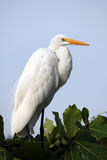 White Heron on a tree Stock Images