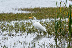 White Heron Wading Royalty Free Stock Photo