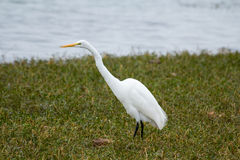 White Heron Wading Royalty Free Stock Images