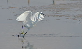 White heron walking Stock Images
