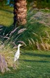 White heron. A white heron walking on a field under a tuft of grass Stock Photos